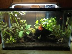10 Gallon tank, live plants, good betta tank, mopani wood, 10 gallon with glass… Aquarium Garden, Aquarium Fish Tank, Planted Aquarium, Tropical Freshwater Fish, Freshwater Aquarium, Betta Fish Tank, Fish Tanks, 10 Gallon Fish Tank, Fish Tank Stand