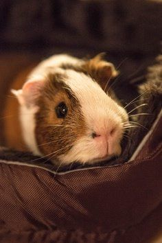 Good night sweet piggies...☺☺☺  The Best Guinea Pig Food Delivered Fresh to your door!  Click  ❤ http://shop.smallpetselect.com/ ❤  FbookFriends: Use code ✔softNgreen✔ For Free Shipping