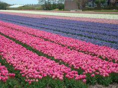 Bollenvelden(The Netherlands)