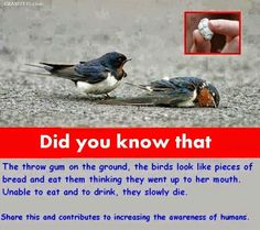 This Little Bird Has Lost His Partner ~ Please Share To Increase Awareness ~ In Some Countries Chewing Gum is Banned - e.g: Singapore.
