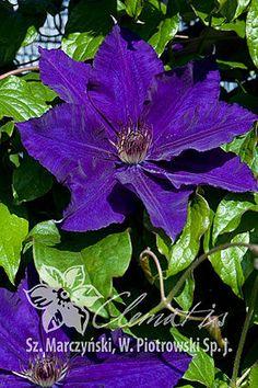 Clematis 'Moniuszko' Clematis Vine, Climbing Vines, Flowering Vines, Flower Beds, Dream Garden, Mother Nature, Garden Landscaping, Beautiful Flowers, Planters