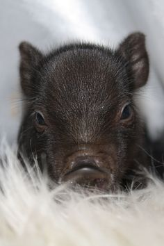 Miniature Pet Pigs – Why Are They Such Popular Pets? – Pets and Animals Animals And Pets, Baby Animals, Funny Animals, Cute Animals, Teacup Piglets, Cute Piglets, Baby Pigs, Pet Pigs, Pot Belly Pigs
