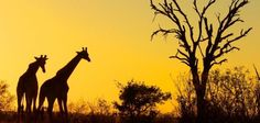 Kruger Park is South Africa's most exciting African safari destination. Steeped in legend and history, the iconic Kruger National Park in South Africa is waiting for you to explore its vast landscapes and spectacular African wildlife. Kruger National Park, National Parks, Oh The Places You'll Go, Places To Travel, Places To Visit, Travel Destinations, Dawn Images, Camping Resort, Reserva Natural
