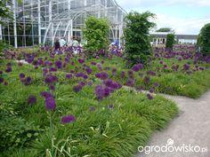 Allium giganteum and hakonechloa macra, planting design