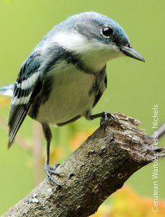 "Birding's ""Biggest Week"" Partners to Help Cerulean Warbler and Other Migratory Birds"