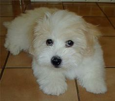 Coton de Tulear. IT'S SOOOO FLUFFY!-This looks like my new puppy!!:) Max-he's a little miracle!!:)