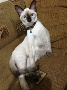 Siamese/Orientals cats.Lilac point,Seal tabby silver Siamese,Seal point, Flame point, ,Balinese and Tonkinese.