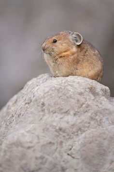 He's called a pika. | This Perfectly Round Mouse-Bunny Thing Will Make You Lose Your Mind