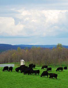 #Simmental cattle in Virginia