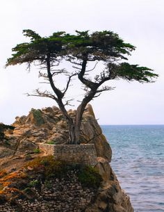 Chief among the scenic attractions at 17-Mile Drive (California) is the Lone Cypress Tree, a salt-pruned Monterey cypress (macrocarpa) tree which is the official symbol of Pebble Beach  -aka/ lion king