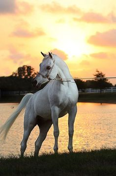 Beautiful white, grey Arabian standing by the ponds edge. Sunset behind the horse making the clouds glow. Pretty horse. Al Adeed Al Shaqab X Bint Saida Al Nasser