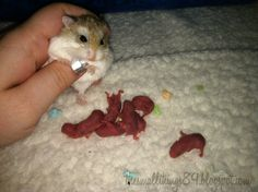 Dwarf Hamster Babies and their journey from birth!