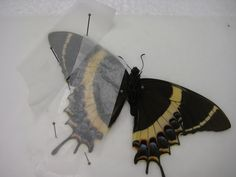 Preserving butterflies for shadow boxes or other displays