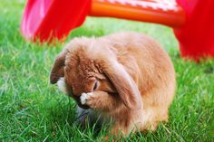 Gotta rub de face. Loved watching my rabbits do this, and clean their ears...Beth