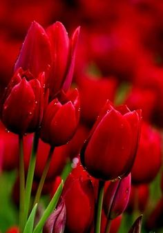 Top 5 Most Beautiful Flowers In The World : Tulips Tulips In Vase, Red Tulips, Tulips Flowers, Pretty Flowers, Red Roses, Most Beautiful Flowers, Exotic Flowers, Simply Beautiful, Tulips Garden