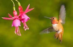 Rufous hummingbird (Selasphorus rufus) has the longest migration route in the United States.