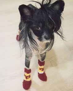 """""""Äiti teki mulle villasukat!"""" Eipähän tarvi kolmella jalalla loikkia ulkona! :) #villasukat #kettukarkki #koirantossut #woollysocks #dogsocks #dogwear #finlandperkele #selfmade #DIY #chinesecrested #kiinanharjakoira"""