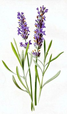 50 Favorite Free Vintage Flower Images - The Graphics Fairy. Love this Lavender Botanical Printable! So nice to use in craft or DIY decorating projects! Illustration Botanique, Illustration Blume, Botanical Illustration, Flowers Illustration, Vintage Botanical Prints, Botanical Drawings, Botanical Art, Botanical Posters, Antique Prints