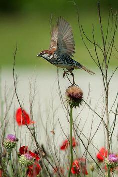 Sparrow in the meadow. Pretty Birds, Love Birds, Beautiful Birds, Small Birds, Little Birds, House Sparrow, Bokeh Photography, Fauna, Bird Watching