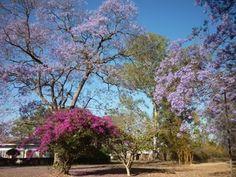 Jaracanda trees