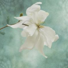 Magnolia Print  Turquoise White Flower Home Decor by JudyStalus