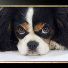 Cavalier King Charles Puppy!! the love puppy..  <3!