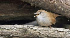 cetti's warbler.. - Pinned by Mak Khalaf Animals birdcetti's warblerwildlife by MargittaThomann