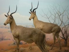 Hirola...10 Species That We May Lose Forever If We Don't Do Something Now