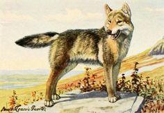 Fuertes, Louis Agassiz (1874-1927) - Burgess Animal Book for Children 1920 (Wolf). #vintage, #animals, #canis lupus