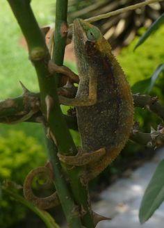 Chameleons are cool. At the Methodist guest house in Gikondo.