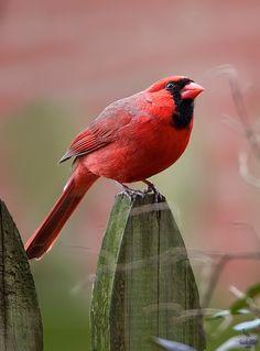 """Northern Cardinal, Eastern; Pennsylvania """"Cardinalis cardinalis"""""""