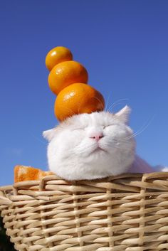 3 Oranges on the SHIRO's head :) Baby Animals, Animals And Pets, Cute Animals, I Love Cats, Cool Cats, Kittens Cutest, Cats And Kittens, Dumb Cats, Fancy Cats