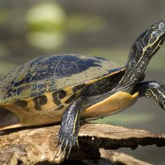 Wild yellow-bellied sliders often grow darker as they age.