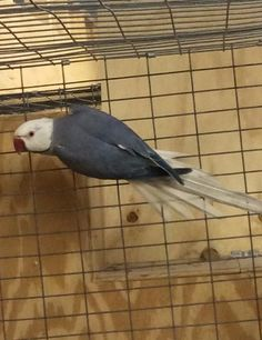 Cobalt (Grey) Indian Ringnecks