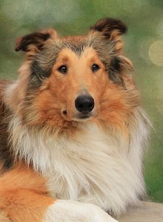 My first word was Duke. After my neighbor's collie. I have a thing for collies. Rough Collie, Collie Dog, Collie Breeds, Dog Breeds, Baby Dogs, Dogs And Puppies, I Love Dogs, Cute Dogs, Shetland Sheepdog Puppies