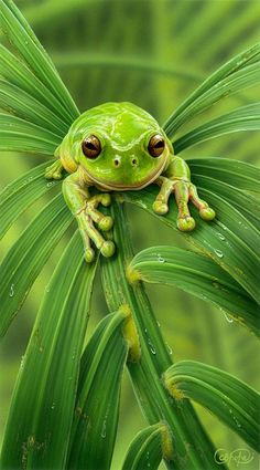 green tree frog - Christopher Pope - love his cute little fingers!