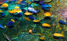 Lake Malawi Cichlids HD Wallpaper