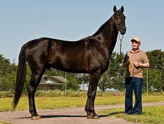 Akhal-Teke Stallion. Look how tall!