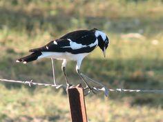 Butcher Bird