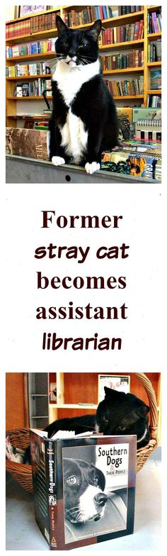 Read the true story of a shelter cat that became an assistant librarian after his adoption => http://www.traveling-cats.com/2016/02/cat-from-charlotte-usa.html (books, amreading, cats, feline, Southern Dogs and Their People, shelter cats, true story, shelter cats truth, shelter cat adopted, cat loves books, cat with book)