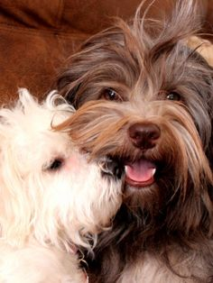 Havanese Source by The post Havanese appeared first on Dogs and Diana. Havanese Grooming, Havanese Puppies, Cute Puppies, Cute Dogs, Dogs And Puppies, Doggies, Dog Haircuts, Havanese Haircuts, Daisy Dog