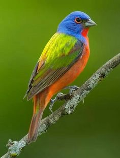 Rainbow bird known as Painted Bunting