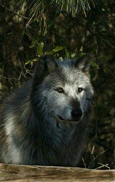 SHADOW WOLF!!!