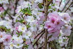 #cherryblossom #outsidejapan #gardenbythebay #exploresingapore