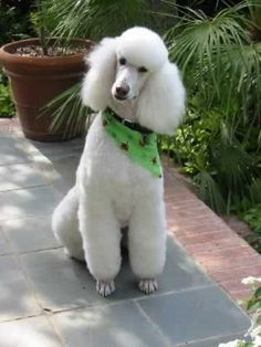 White Standard Poodle - How can you NOT love this dog?