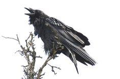 Yukon Raven | by Gavatron