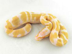 Albino Orange Dream