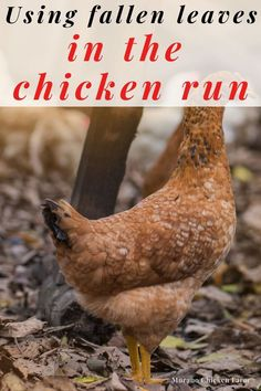 Urban Chickens, Pet Chickens, Raising Chickens, Chickens Backyard, Kid Picks, Guinea Fowl, Hiding Spots, Chicken Runs, Boredom Busters