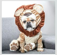 I am a French Lion hear me roar #Bulldog