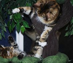 Maine Coon Cat Trees....Best Cat Furniture for Maine Coon Cats and other Large Breeds.